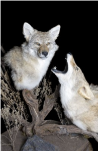 twocoyotes
